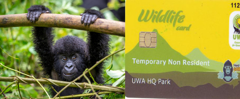 Gorilla Trekking Permits in Uganda