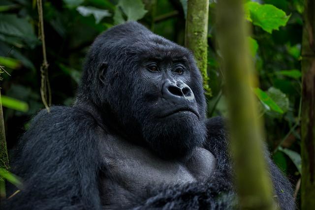 Getting a gorilla permit in Congo