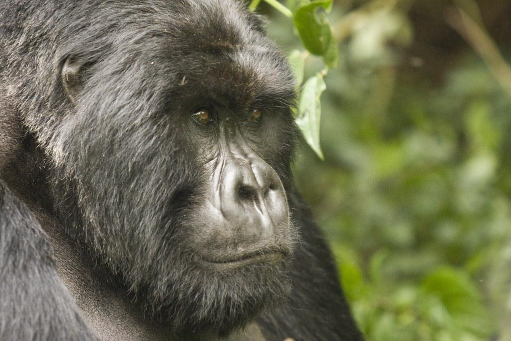 Getting a gorilla permit in Rwanda