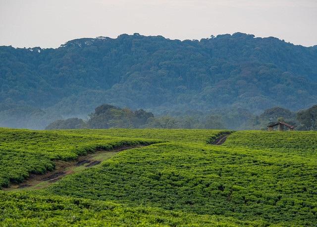 Tea Plantation in Nyungwe