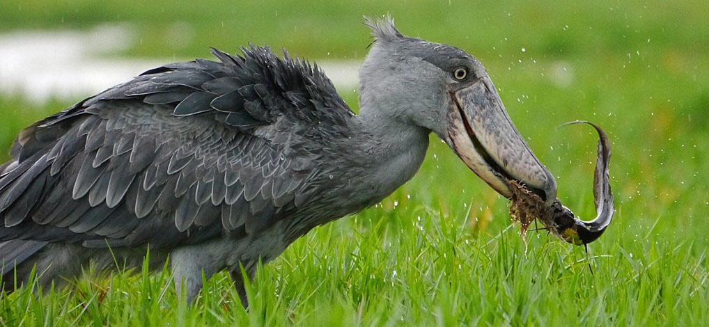 Shoebill-stork-feeding