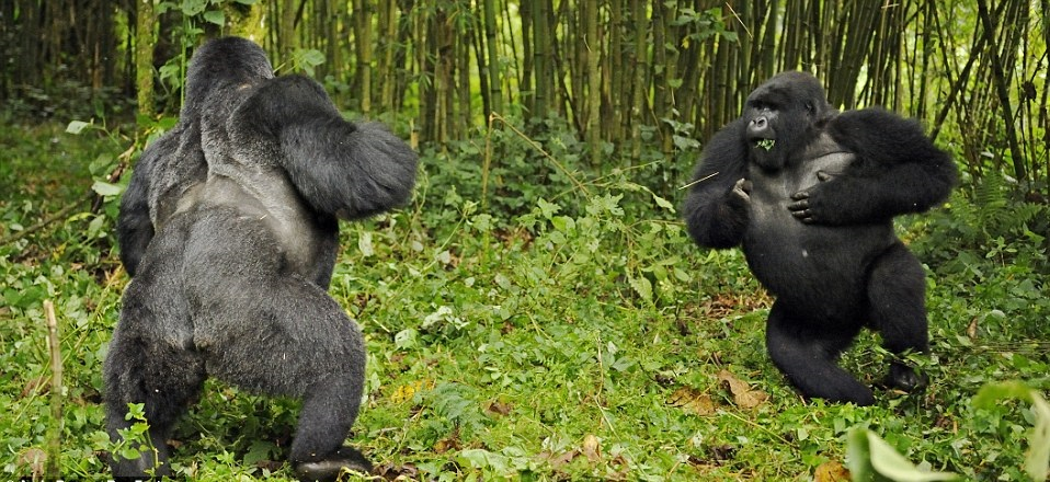 Silverback Gorillas in Virunga National Park Tustle it out to take over a certin gorilla Family