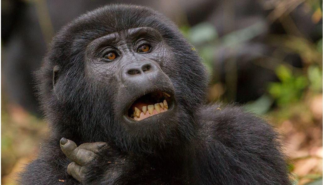 2 Day Uganda gorilla trekking from Kigali