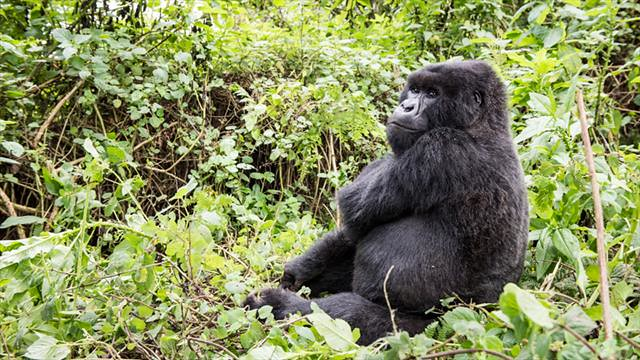 3 Days Uganda gorillahabituation from Kigali