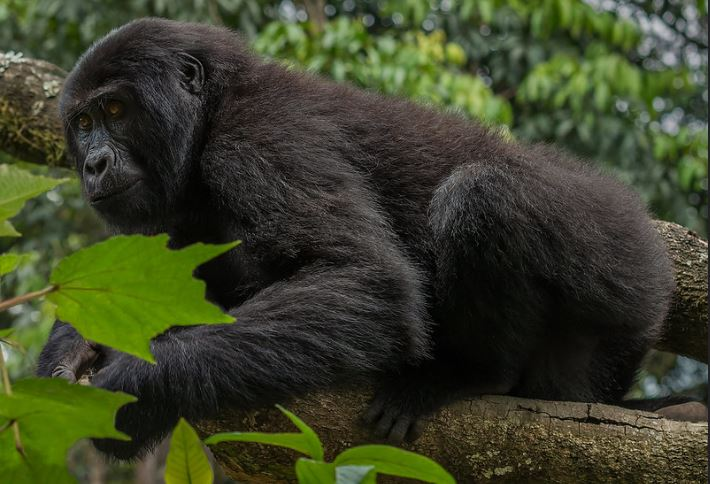 4 Days Bwindi Double Gorilla Trekking
