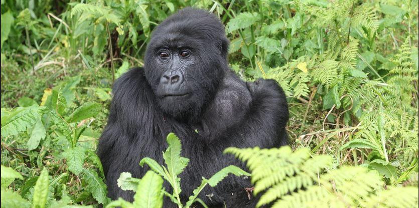 2 day congo gorilla tour