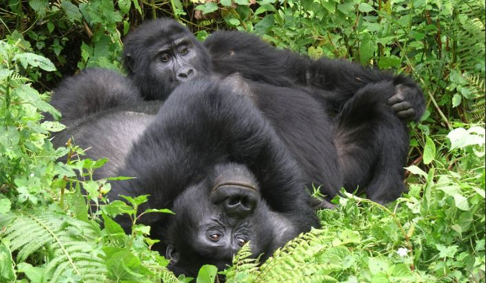 4 Days gorillas and wildlife safari