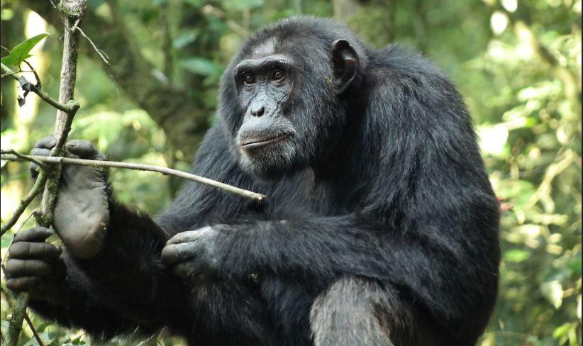 5 Days Uganda wildlife and chimp safari