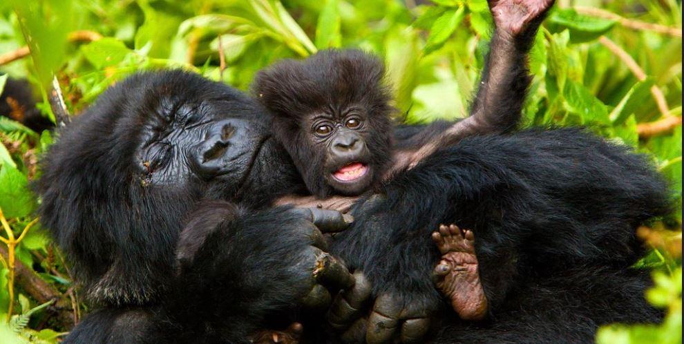 5 Days Rwanda gorilla and wildlife safari