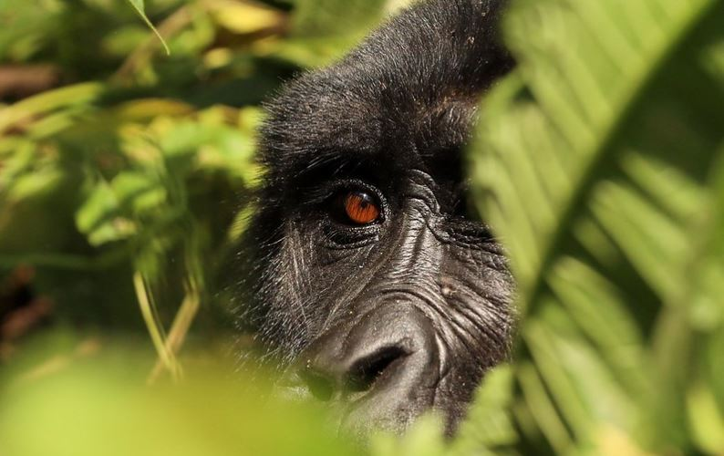attractions in volcanoes national park rwanda