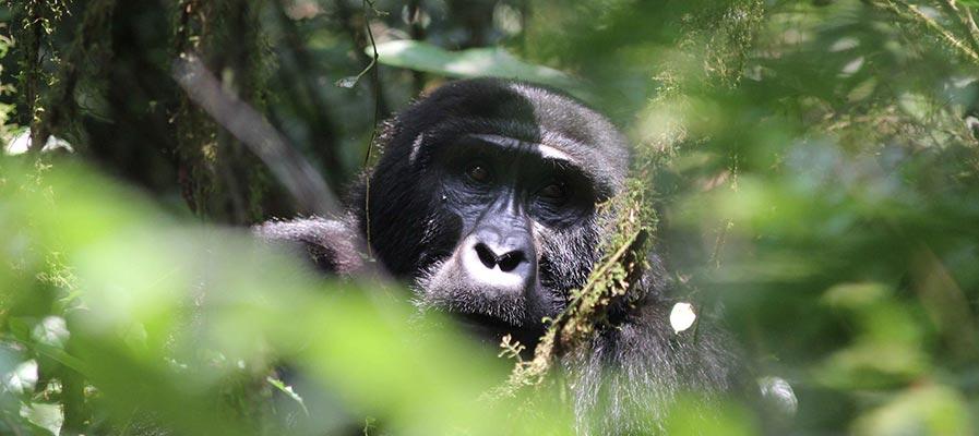 Guide to Gorilla Trekking in Uganda