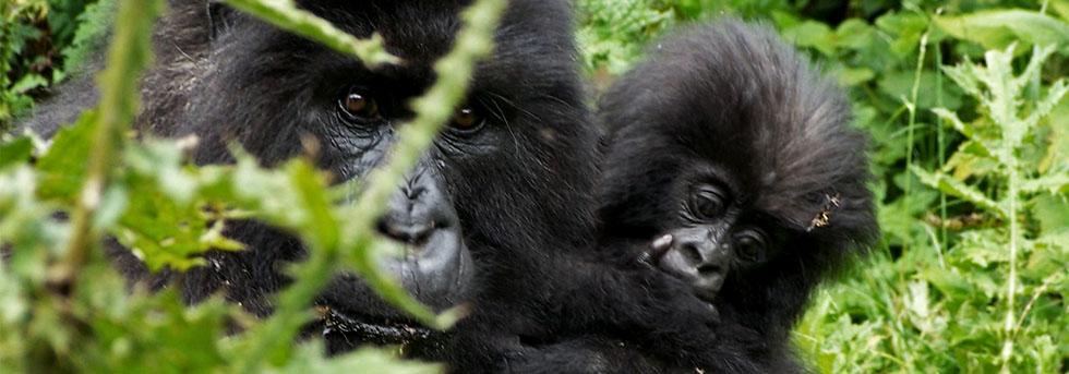 How Mountain Gorillas Adapt to their Environment
