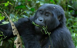 Why Gorilla Trekking in Mgahinga