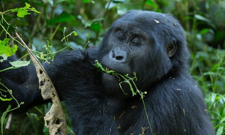 Gorilla Trekking Uganda- Mgahinga National Park