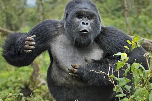 Are Gorillas Dangerous?