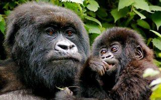 11 Days Combined Rwanda and Congo Safari