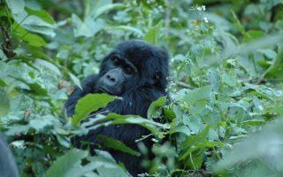 10 Day Uganda, Rwanda, and Congo Safari