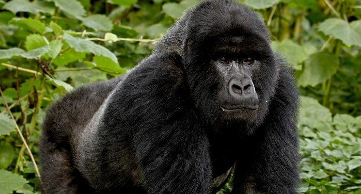 1 Day Bwindi Gorilla Trekking from Kigali