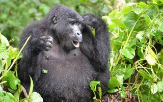 9 Days Uganda Gorillas, Chimpanzees, & Wildlife safari
