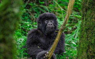 16 Days Uganda Rwanda Congo Safari