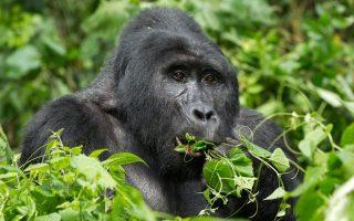 3 Days Bwindi Luxury Gorilla Trekking Safari