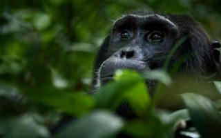 6 Days Uganda Primates Safari