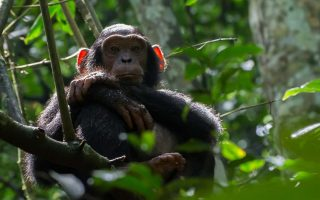 Chimpanzee trekking in Budongo forest reserve