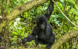 3 Days Bwindi Mountain Gorilla trekking safari