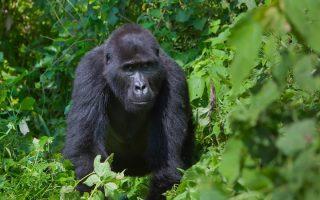 5 Days Virunga Tripple Gorilla Trekking safari