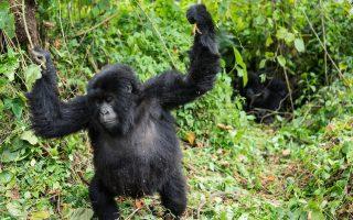 6 Days Congo Great Ape Safari (Chimps, Gorillas and Nyiragongo hike)