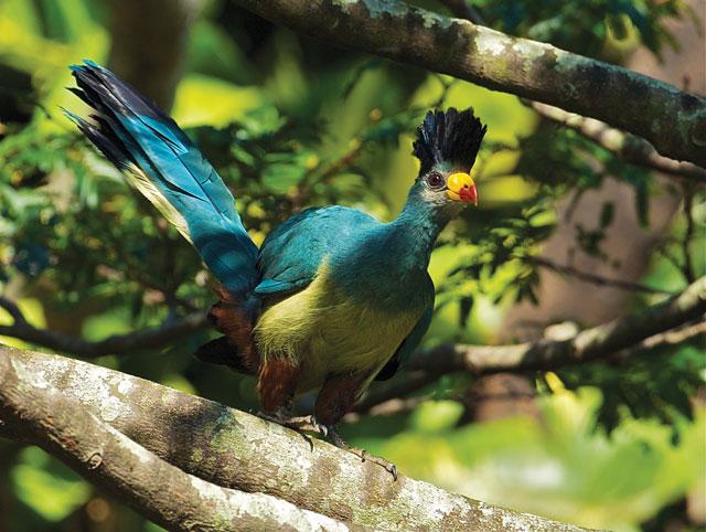 bwindi birds or birds of bwindi forest national park