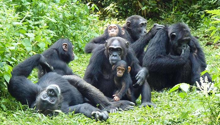 5 Days Kibale Chimpanzee and Gorilla Safari