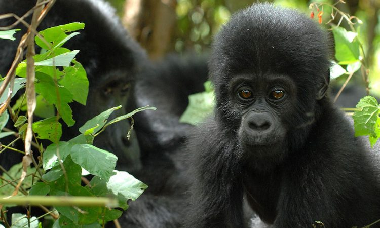 Attractions in Bwindi impenetrable national park