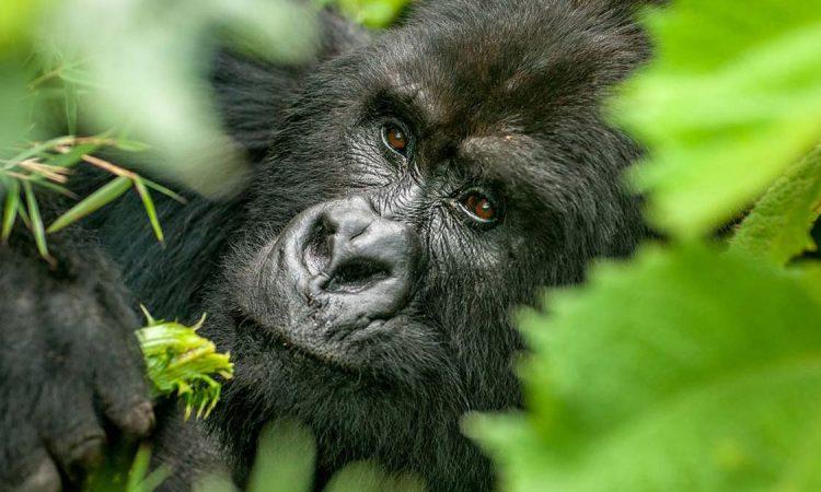Is Gorilla Trekking in Uganda Safe?